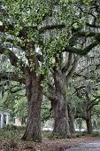 stock photo of tillandsia  - The famous live Southern Live Oaks covered in Spanish Moss growing in Savannah