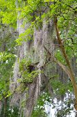 stock photo of tillandsia  - The famous spanish moss hanging on the oaks of Savannah - JPG