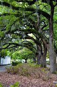 stock photo of tillandsia  - The famous live Southern Live Oaks covered in Spanish Moss growing in Savannah - JPG