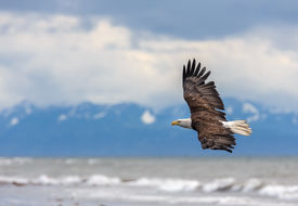 pic of fish-eagle  - American Bald Eagle at Anchor Point - JPG