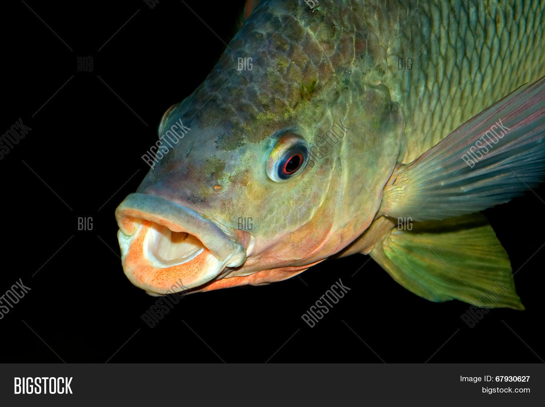 Freshwater fish of southern africa - Portrait Of An African Nembwe Fish Serranochromis Robustus Zambezi River Southern Africa