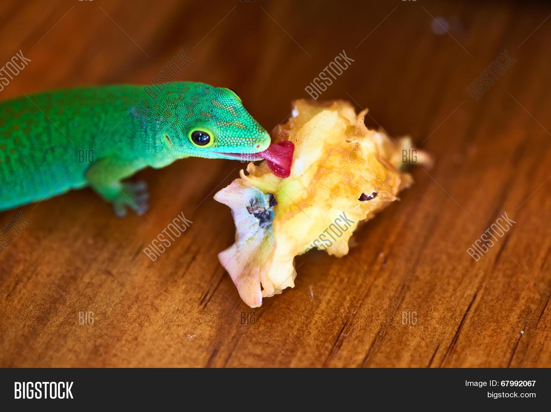 green gecko lizard eating apple image u0026 photo bigstock