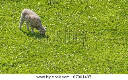 Lamb Grazing In A Prairie