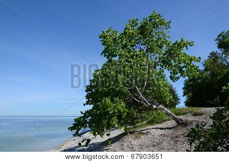 Aspen Tree On Mackinac Island