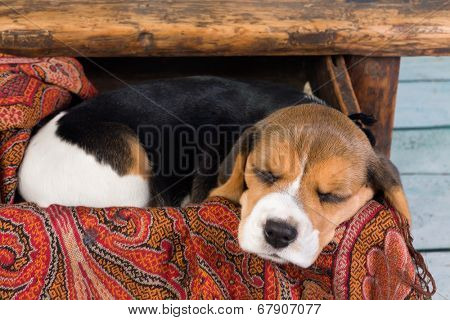 Tired little seven weeks old beagle puppy sleeping in a drawer