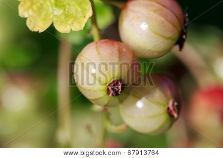 Redcurrant (or red currant), Ribes rubrum