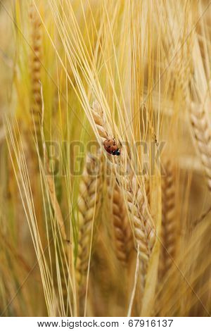Ladybug On Wheat Ears Down