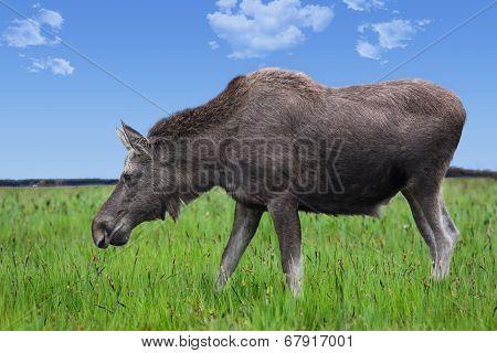 Elk On Meadow