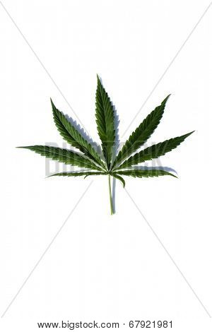 A Genuine Marijuana Leaf. Isolated on white with room for your text. Medical Marijuana has quickly become a medical miracle cure for many in the united states and the world in general.