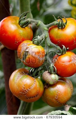 branch of illness tomato