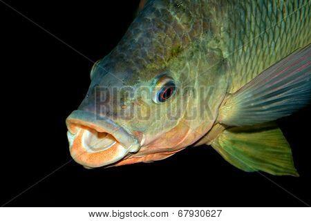 Portrait of an African Nembwe fish (Serranochromis robustus), Zambezi river, southern Africa