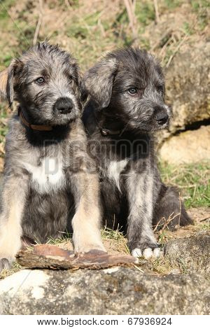 Two Puppies Of Irish Wolfhound In The Garden