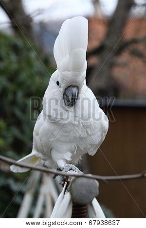 Sulphur-crested Cockatoo Parrot Walking