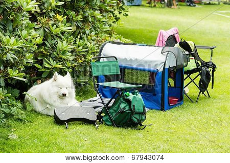 Samoyed Resting