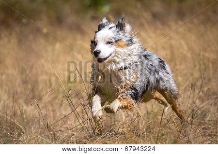 Fast Australia Shepherd