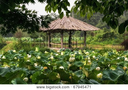 White lotus flower pond