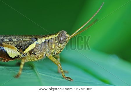 brown grasshopper and leaf in the urban parks
