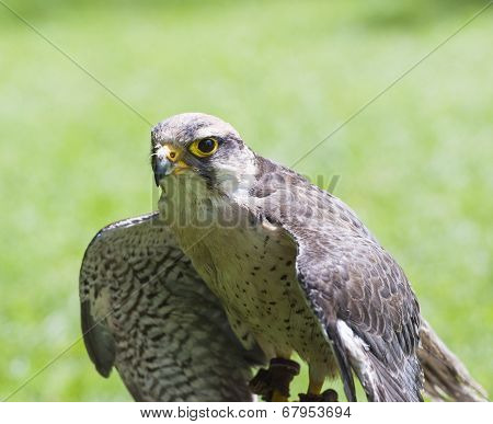 Lanner Falcon Bird Of Prey