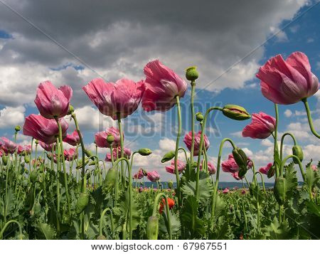 Close Up Of Opium Poppies