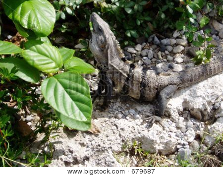 Hungry Lizard