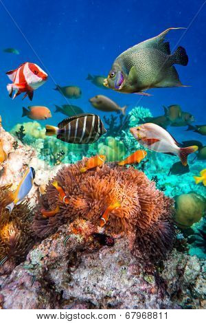 Topical saltwater fish ,clownfish - Coral reef in the Maldives, Anemonefish