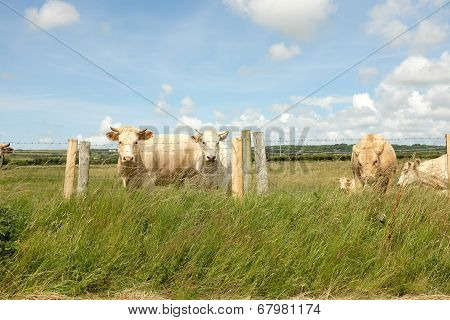 Cattle.