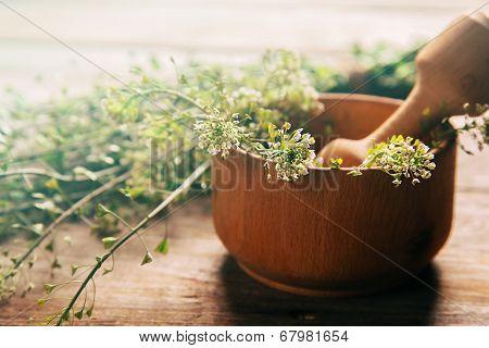 Herb Capsella, Medicinal Herb