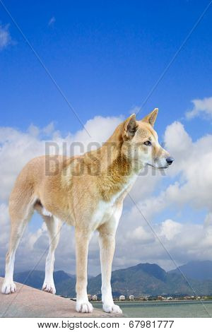 Dingo With Cairns City In The Background