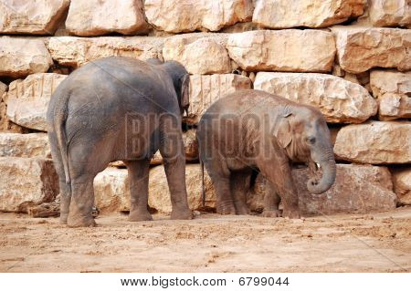 asian elephant calf and his mother