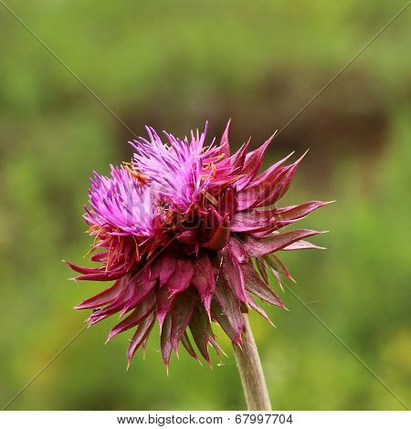 The Inflorescence Of A Burgeoning Thistles