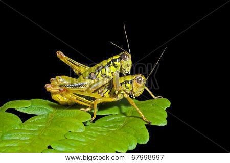 Grasshoppers On Leaf
