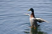 image of male mallard  - A Male Mallard Duck with Wings Outstretched - JPG