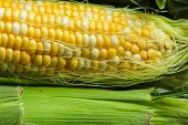 image of corn-silk  - Fresh corn on a cob with husk and silk - JPG