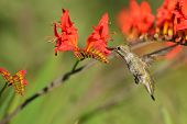 image of crocosmia  - Annas Hummingbird Feeding on red Crocosmia flowers