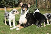 stock photo of bitches  - Bitch of Collie Smooth with its puppies lying in nice garden - JPG