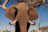 foto of tusks  - Close up of a wild African elephant with large tusks - JPG