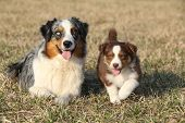 foto of australian shepherd  - Beautiful Australian Shepherd Dog lying with its puppy - JPG