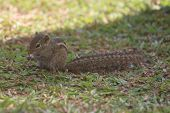 image of chipmunks  - The chipmunk eats a nut - JPG