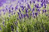 picture of lavender field  - Beautiful field of lavender in Sequim Washington - JPG