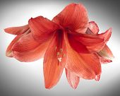 foto of belladonna  - Red Amaryllis or Belladonna Lily flowers a bulbous plant that originated in South Africa and is now prized as a houseplant due to its winter flowering and ability to flower indoors - JPG