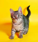 foto of yellow tabby  - Small tabby kitten sneaks up on yellow background - JPG