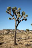 picture of desert animal  - The Mighty and Majestic Joshua Tree stands tall and strong against the desert sun and heat in the Joshua Tree National Forest and Mohave Desert - JPG