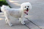 image of bichon frise dog  - A beautiful pure breed Bichon Frise enjoys an warm spring afternoon in the sun while out for a walk at the local dog park - JPG