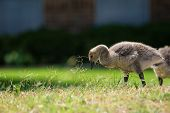 image of baby goose  - Cute Canada goose gosling feeding on the spring grass