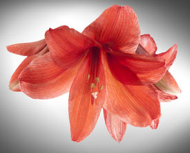pic of belladonna  - Red Amaryllis or Belladonna Lily flowers a bulbous plant that originated in South Africa and is now prized as a houseplant due to its winter flowering and ability to flower indoors - JPG