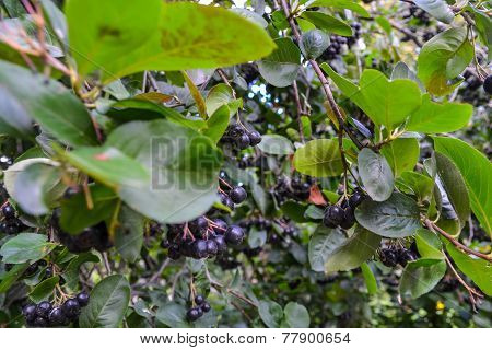 Black currant. Ribes nigrum