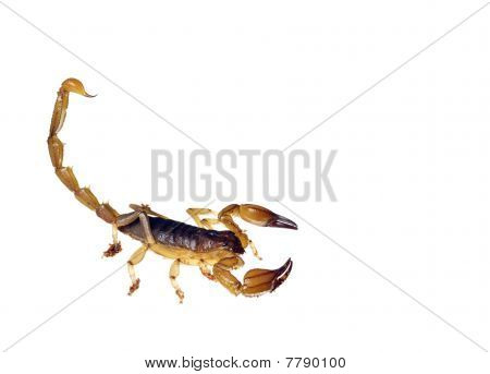 An Australian scorpion ready to sting
