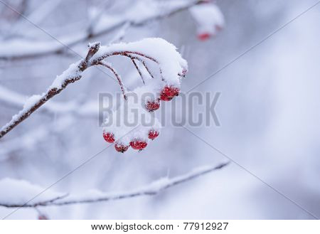 Red Rowan Berries Covered With Fresh Snow. Winter Background