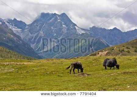 Yaks Weiden im tibetischen Hochland