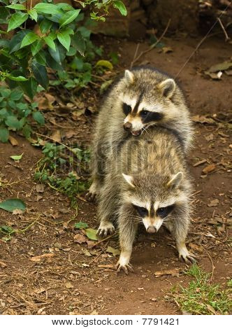 Raccoons Mating